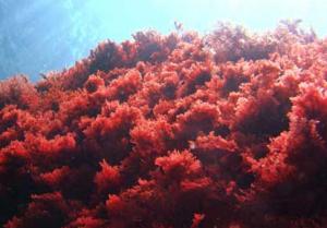 Uit onderzoek is gebleken dat rood zeewier werkt effectiever tegen borstkanker dan chemotherapie.